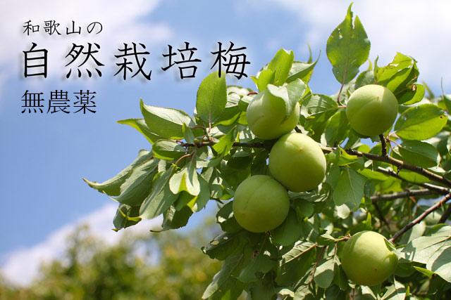 無農薬栽培の梅