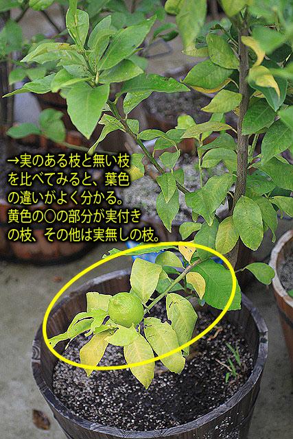 左側の枝葉