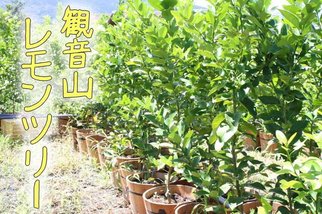 観音山レモンツリー【家族と共に】送料無料