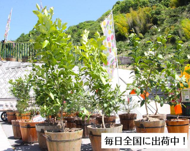 観音山レモンツリー